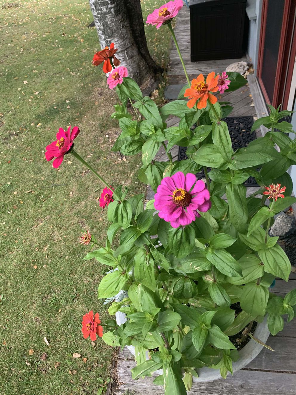 Zinnias come in all sorts of colors, sizes and styles. (Photo by Jeff Lowenfels)