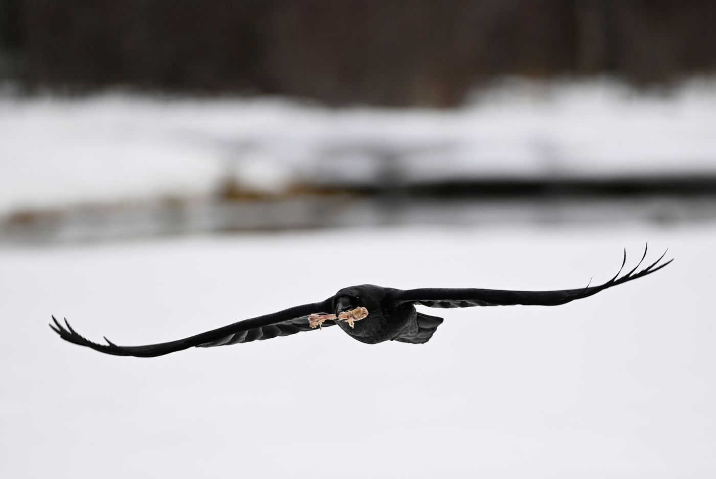 A raven carries a bone in its beak in Anchorage on April 12, 2021. (Marc Lester / ADN)