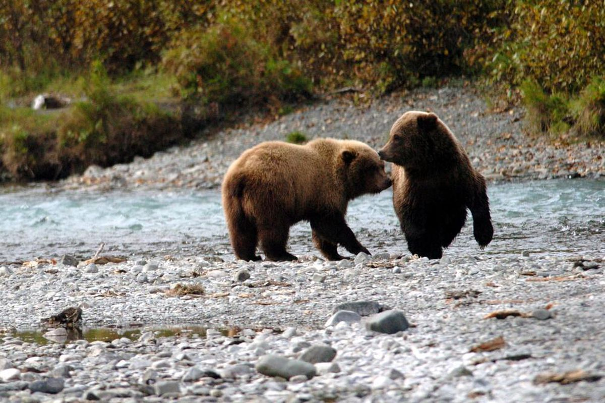 In this file photo, two Russian River juvenile grizzly bears pass each other. (Jim Lavrakas / ADN archive 2005)