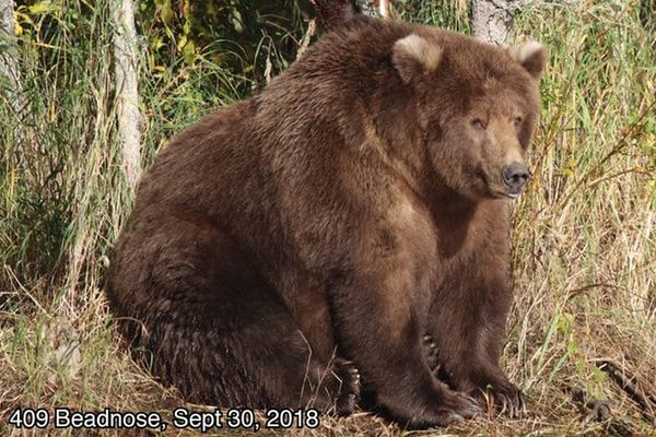 A female brown bear known as 409 Beadnose swelled over three months of devouring salmon in Katmai National Park and Preserve. She has won the park's Fat Bear Week contest. (Katmai National Park and Preserve)