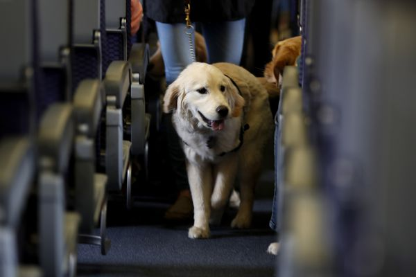 FILE - In this April 1, 2017 file photo, a service dog strolls through the isle inside a United Airlines plane at Newark Liberty International Airport while taking part in a training exercise in Newark, N.J. The Transportation Department issued a final rule Wednesday, Dec. 2, 2020, covering service animals. The rule says only dogs can qualify, and they have to be specially trained to help a person with disabilities. For years, some travelers have been bringing untrained dogs and all kinds of other animals on board by claiming they need the animal for emotional support. (AP Photo/Julio Cortez, File)