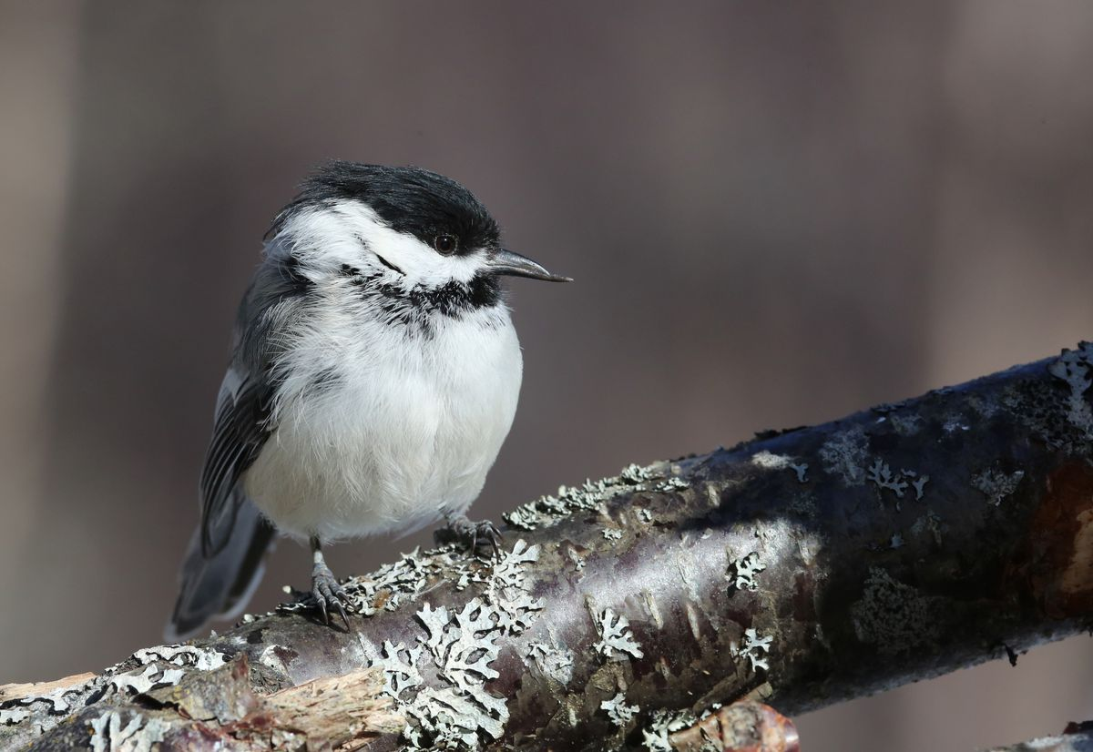 A black-capped chickadee with a pouty lower beak, not an uncommon occurrence. Photographed in Nikiski, March 2016. (Photo by Steve Meyer)