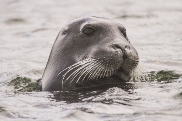 Arctic Slope Regional Corp. alleges that the NMFS improperly relied on long-term projections that are inconsistent with the requirements of the Endangered Species Act in a decision last year to list bearded seals as threatened.