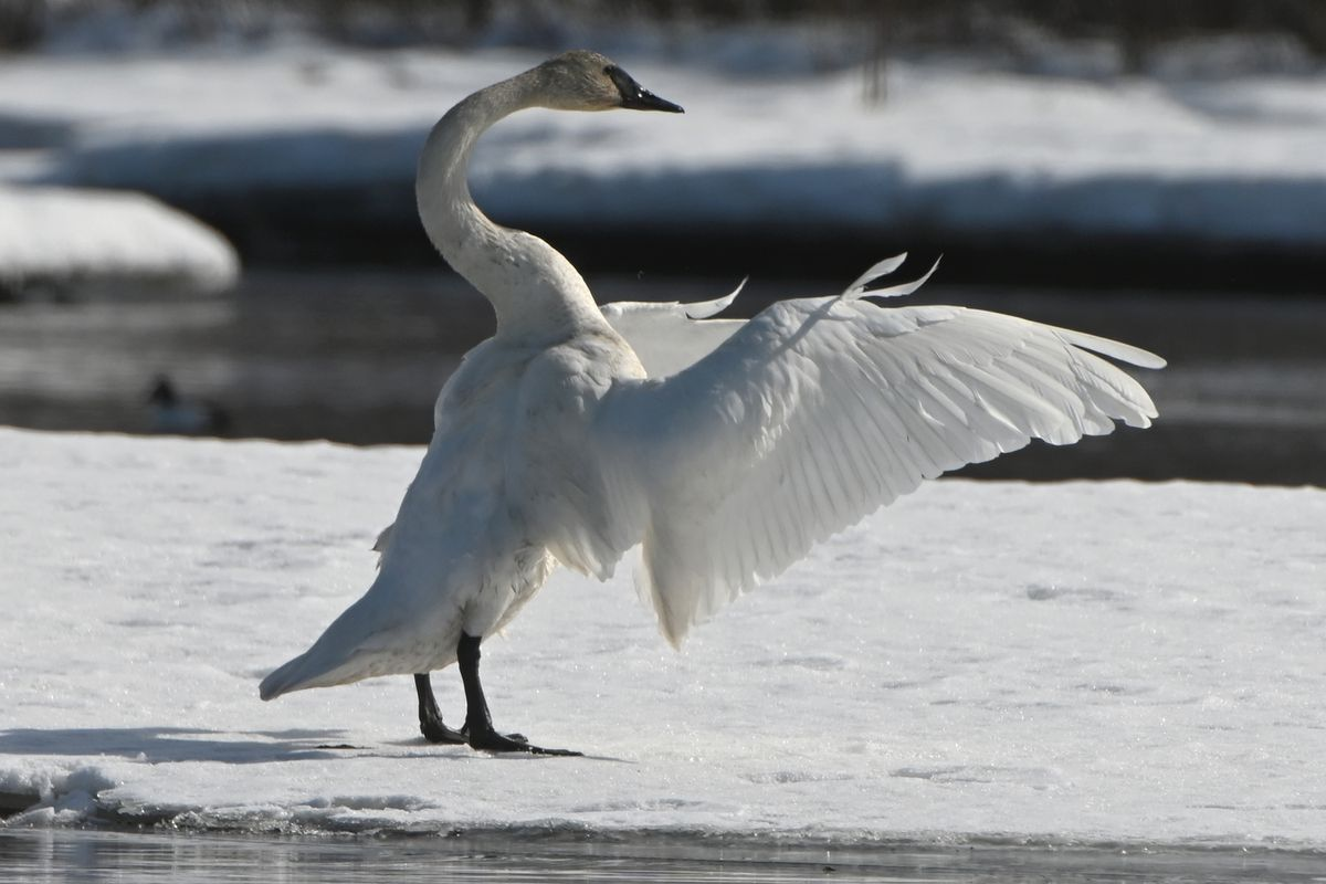A trumpeter swan flaps its wings while preening after feeding at Westchester Lagoon on Wednesday. (Bill Roth / ADN)