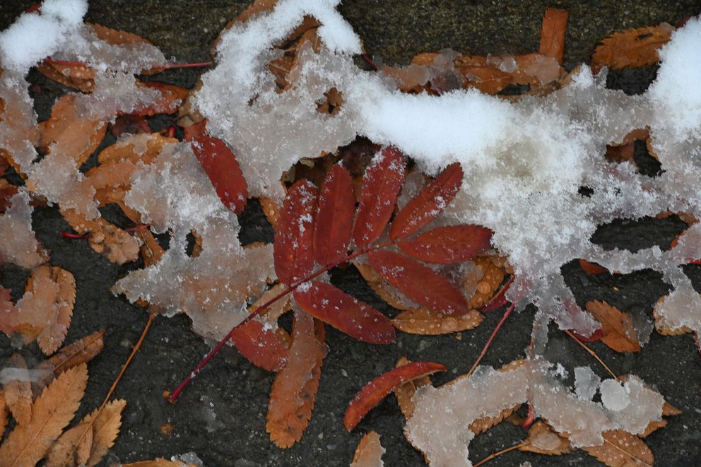 Snow begins to melt after the temperature rose above freezing during the first snow in Anchorage on Sunday, Oct. 18, 2020. (Bill Roth / ADN)