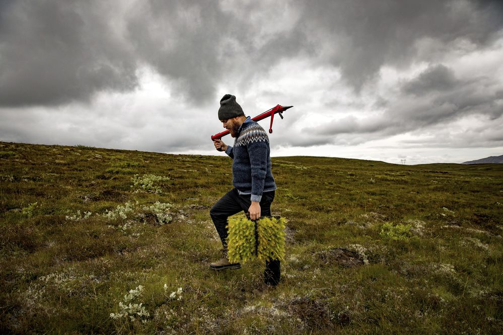 """Jon Asgeir Jonsson, who works for a private forestry association, with larch saplings in western Iceland, Aug. 8, 2017. Jonsson is a foot soldier in the fight to reforest Iceland, working to bring new life to largely barren landscapes. """"It's definitely a struggle,"""" Jonsson said. """"We have gained maybe half a percent in the last century."""" (Josh Haner/The New York Times)"""