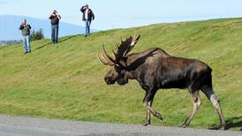 The day the moose at Point Woronzof were really wild