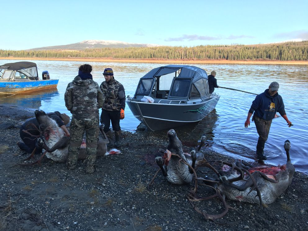 Friends working together to gut three caribou caught that morning. (Andrea Sanders)