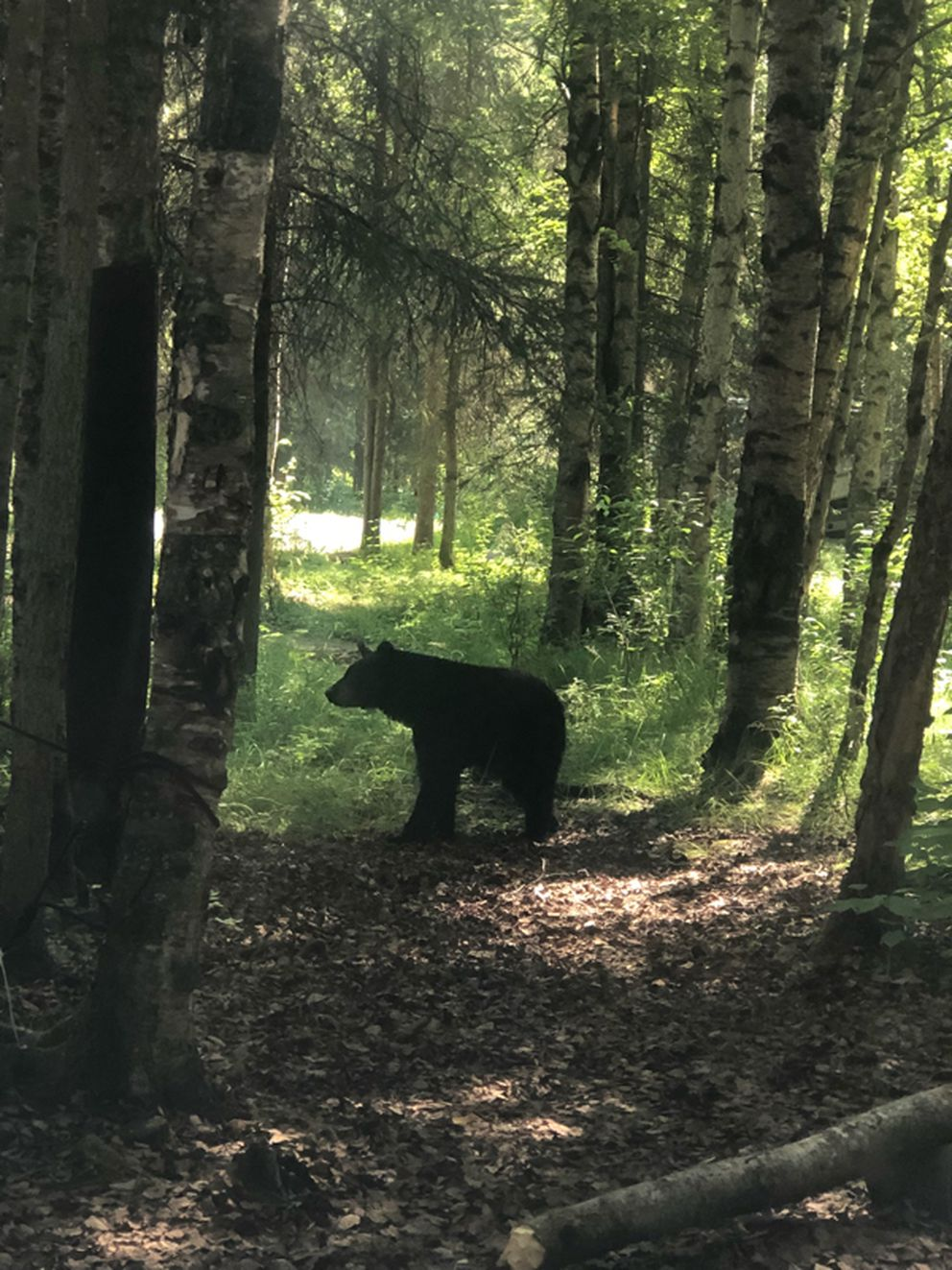 Rich Phillips photographed black bears in Centennial Campground shortly before four were killed there by Alaska Department of Fish and Game. (Photo by Rich Phillips)
