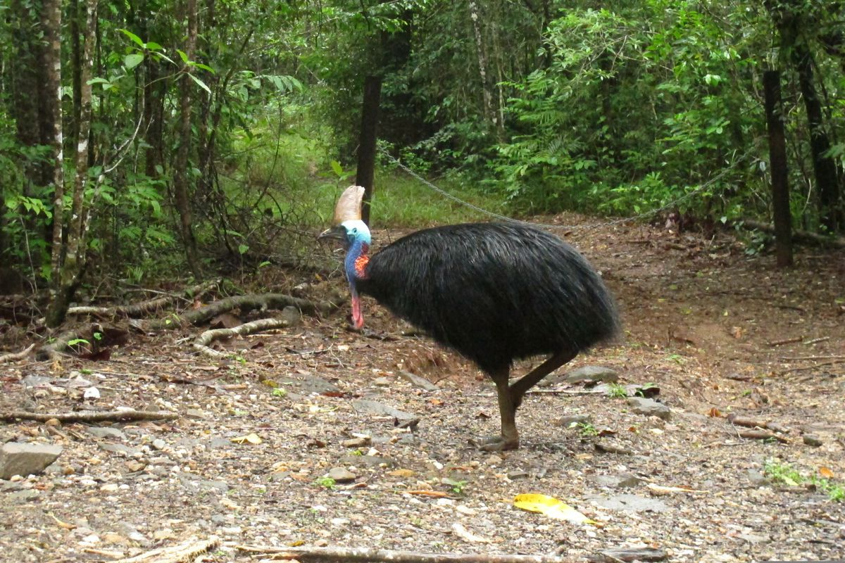 An endangered cassowary in Daintree National Forest, Australia. (AP Photo/Wilson Ring, File)