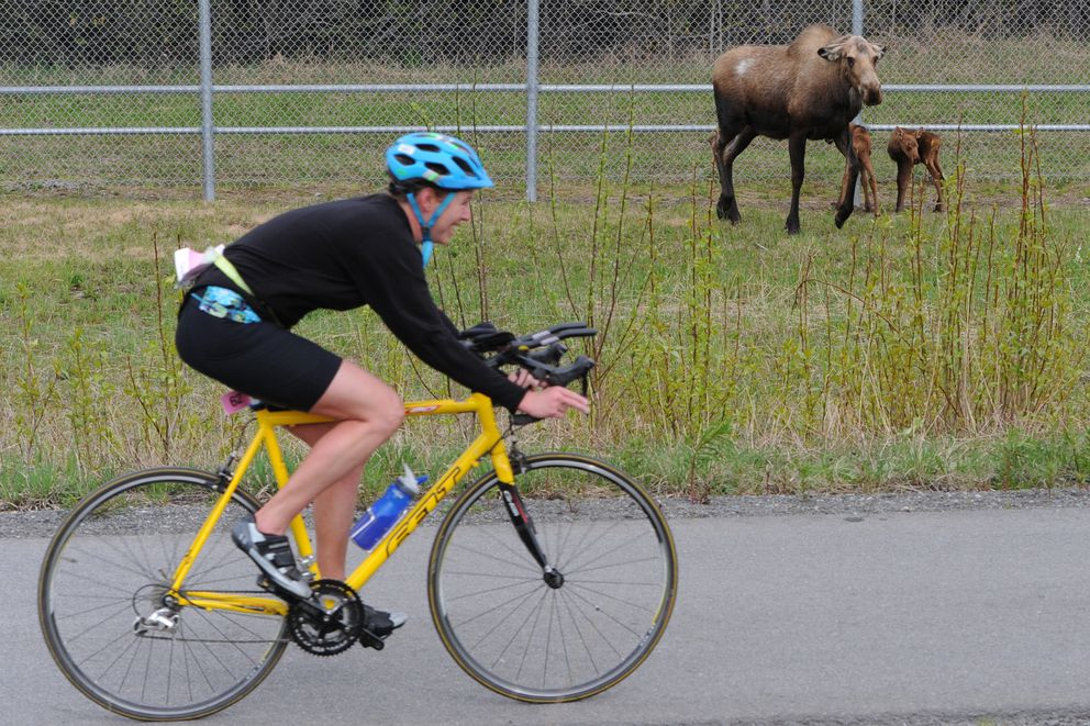 Lia Keller passes by a cow moose protecting her twin newborn calves along the Glenn Highway while competing in the 35th annual Gold Nugget Triathlon on Sunday, May 20, 2018. (Bill Roth / ADN)