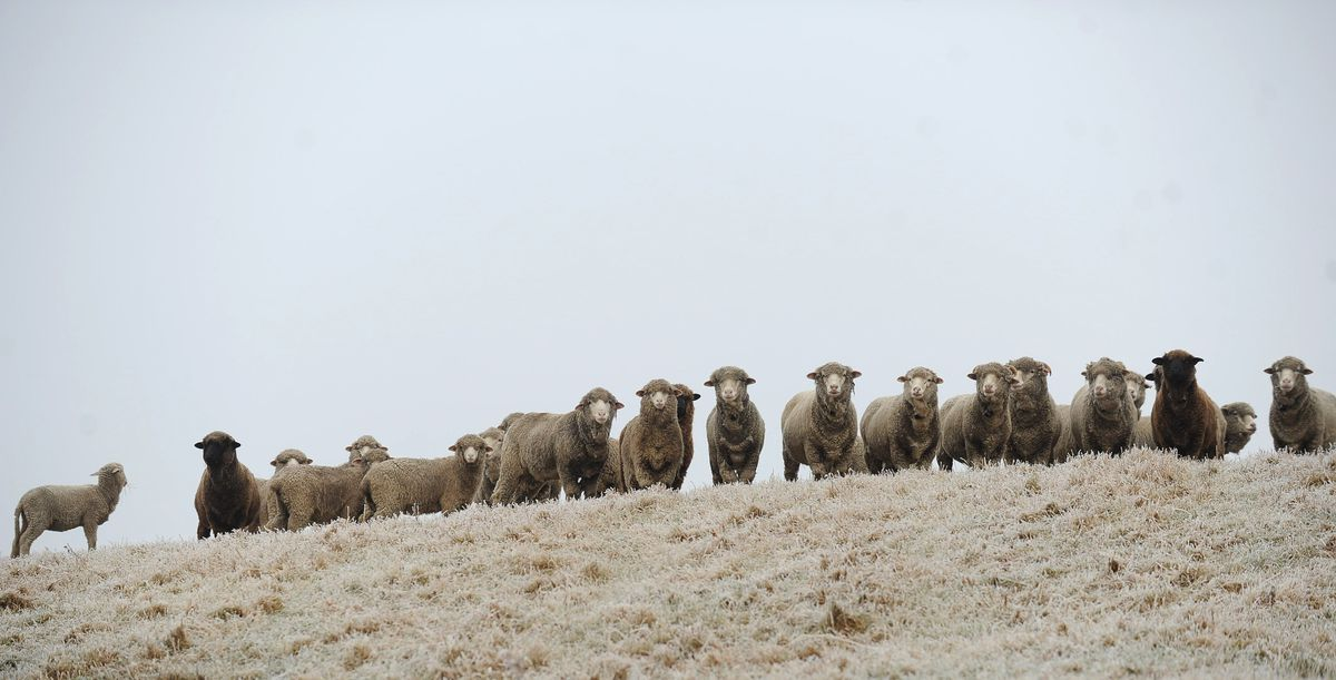Alaska's first flock of Merino sheep arrived 25 years ago  They
