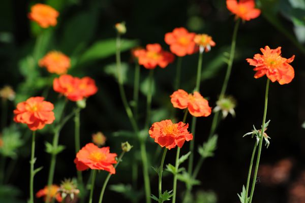 Dwarf orange geum stand out in Lile's Garden, the newest addition to the Alaska Botanical Garden unveiled Thursday, June 27, 2013. The garden is named in memory of Lile Vivian Bernard Rasmuson, the late wife of Elmer Rasmuson and an avid gardener. Swaths of plant colors and foliage textures are meant to create an image of Athabascan floral beadwork. A dedication was held Thursday evening.