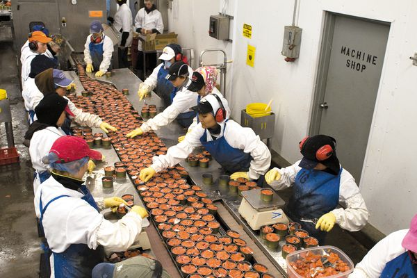 Ocean Beauty plant workers inspect cans of sockeye salmon, before they are sealed and cooked. Naknek, AK. Summer.