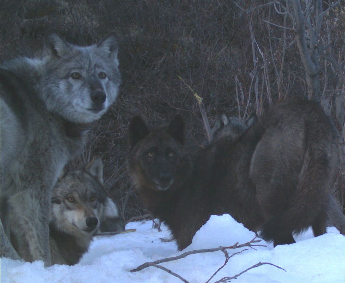 "Four members of the Riley Creek wolf pack, including the matriarch, ""Riley,"" dig a moose carcass frozen from creek ice in May 2016. National Park Service trail camera photo."