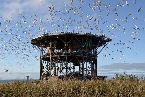 Abandoned radar facility used by nesting kittiwakes, Middleton Island, May 2015. (Rick Sinnott)