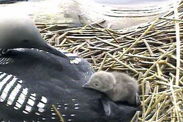 File photo from 2012 Alaska Loon Cam coverage of first chick hatching on Connors Lake in West Anchorage, Alaska