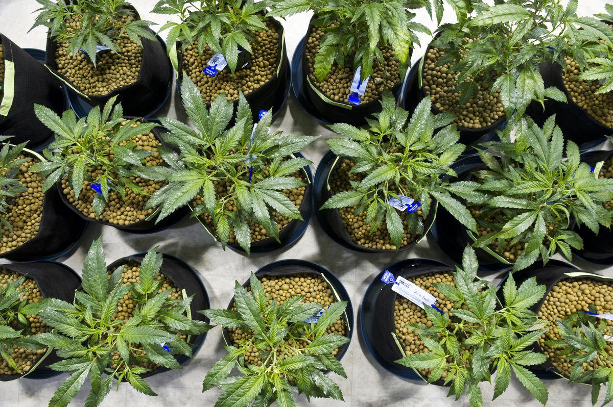 Marijuana plants grow at the AK Fuzzy Budz facility in Anchorage, November 2016. (Marc Lester / Alaska Dispatch News)