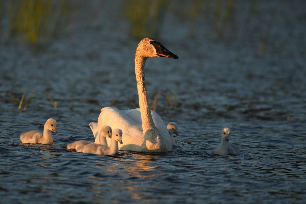 A trumpeter swan and 5 newly-hatched cygnets feed at Potter Marsh in Anchorage on Sunday June 14, 2020. These are the first swans to nest at Potter Marsh in the recent memory of Anchorage Coastal Refuge managers and local birders. (Photo by Bob Hallinen)