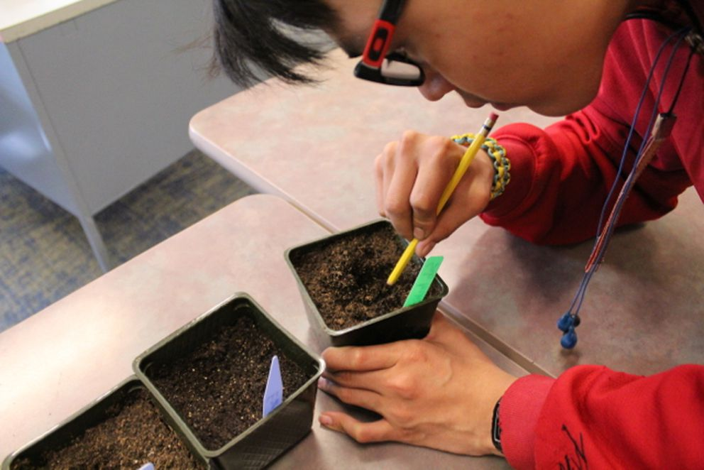 Some seeds didn't appear to sprout, so students from Nunamiut High School who are helping grow the vegetables dug in the planters to see if they could find the seed to determine if they failed after sprouting, or didn't germinate at all. (Courtesy Nasuġraq Rainey Hopson)