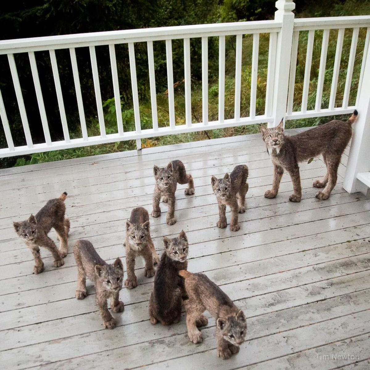 Eight lynx visited the home of Tim Newton at the end of September 2017. His new Facebook page has almost 20,000 followers as a result of the lynx photographs. (Tim Newton / tim-newton.pixels.com/)