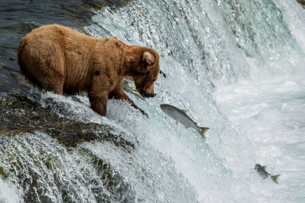 A brown bear works to catch a meal on Wednesday, July 1, 2015, at Brooks Falls in Katmai National Park and Preserve. Bears are gathering to feast on sockeye salmon moving up the Brooks River from Naknek Lake to reach spawning grounds at Lake Brooks. (Tara Young / Alaska Dispatch News)