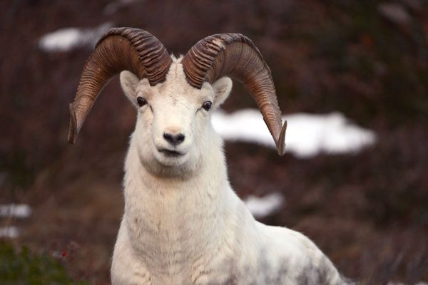A Dall sheep ram looks up from feeding along the Seward Highway and Turnagain Arm south of Anchorage on Wednesday, January 2, 2019. (Bob Hallinen photo)