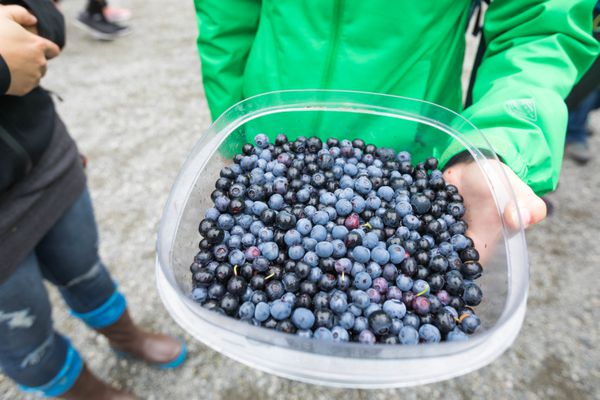 Gabriela Ruzicka holds a container of blueberries that she picked at Alyeska Resort on Saturday, Aug. 18, 2018 during the Blueberry Festival. The festival continues Sunday, featuring music, food, crafts and more pie-eating contests. (Loren Holmes / ADN)
