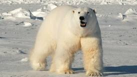 Polar bears diverged 4 to 5 million years ago, but interbred with brown bears