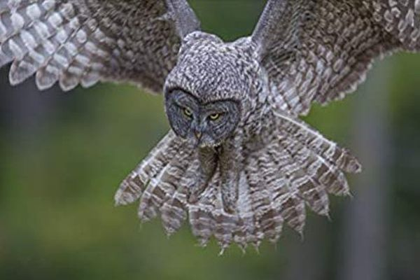 "Great Gray Owl: A Visual Natural History,"" by Paul Bannick"