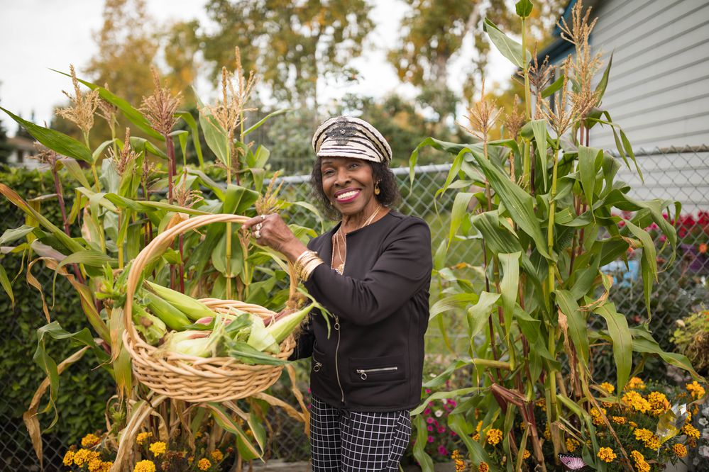 Verona Gentry harvests corn that she grew at her East Anchorage home on Tuesday, Sept. 18, 2018. Gentry started the seeds in her garage in March, and moved them to whiskey barrels in her yard once it was warm enough outside. Gentry, a retired nurse midwife, also grows apples and cherries. (Loren Holmes / ADN)