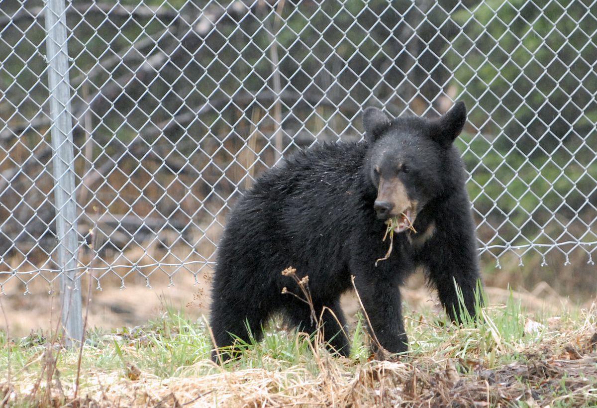 A young black bear eats grass near the Boniface Road exit off the Glenn Highway in April. (Matt Tunseth / Chugiak-Eagle River Star)