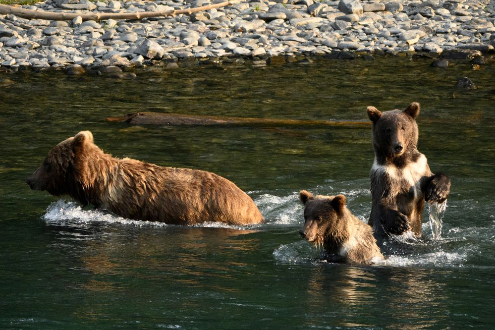 A sow and three yearlings fished for salmon at a bend in the Kenai River near the Russian River Ferry crossing on July 30, 2020. (Marc Lester / ADN)