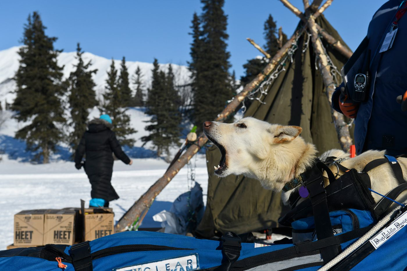 One of Paige Drobny's dogs rode in her sled as she reached the Rainy Pass checkpoint Monday afternoon. (Marc Lester / ADN)