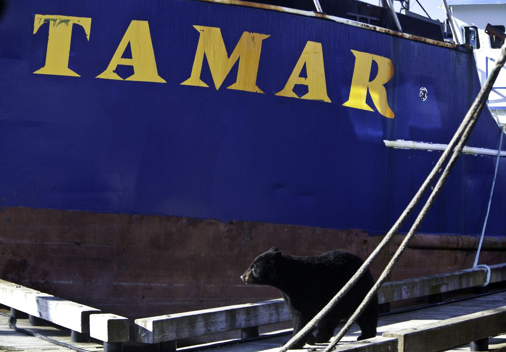 A black bear walks the docks of Cordova after visiting the deck of the F/V Tamar in search of food. (Bob Martinson photo)
