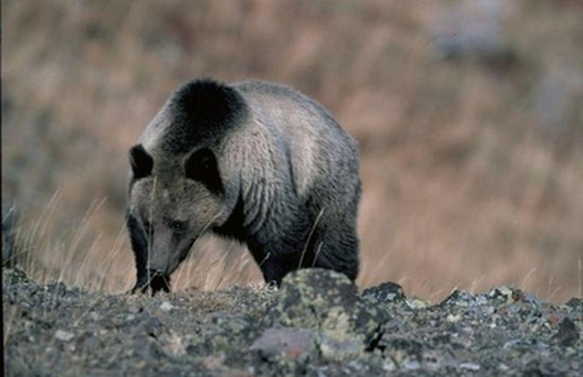 Are guns more effective than pepper spray in an Alaska bear