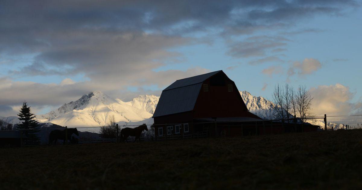 Alaska's first flock of Merino sheep arrived 25 years ago