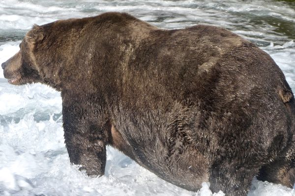 Bear 747, photographed Sept. 20, 2020, is the champion in Katmai National Park and Preserve's Fat Bear Week competition this year. (NPS photo)