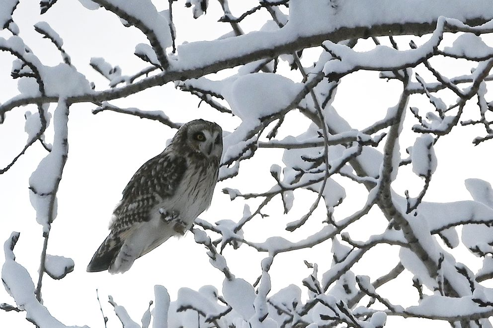 A short-eared owl looks down from snow-covered tree branches while hunting near Point Woronzof on Wednesday, Feb. 19, 2020. (Bill Roth / ADN)