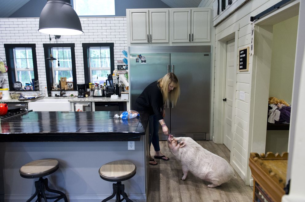 Sarah Lorimer gives her pet pig, Priscilla, a snack at her home in Wasilla. (Marc Lester / ADN)