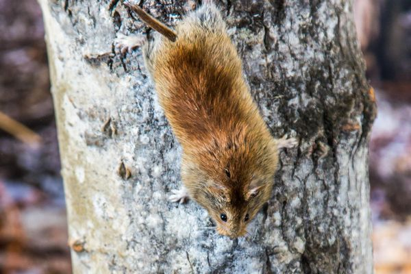 A northern red-backed vole climbing down a tree (UAF photo by Todd Paris)