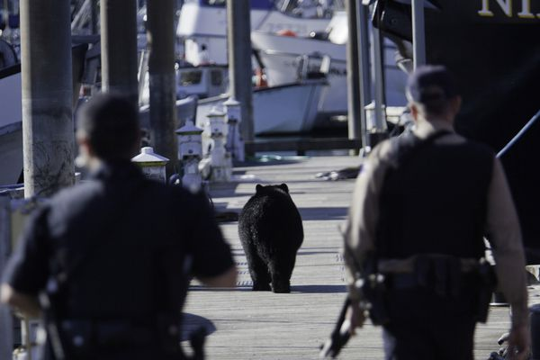 A black bear swam across the Cordova harbor Saturday morning, September 8 at around 11:00 a.m., climbed onto the docks and began climbing onto salmon tender vessels in search of food. The docks, busy with fishermen between silver salmon openers, were soon filled with people filming the incident as Alaska State Troopers followed the bear to the end of D float. After investigating several nearby boats, the bear returned to the docks where the troopers eventually shot the animal dead at the end of D float. Bears have been especially common in Cordova this year as a lack of salmon and berries has sent them in search of food elsewhere. (Bob Martinson photo)