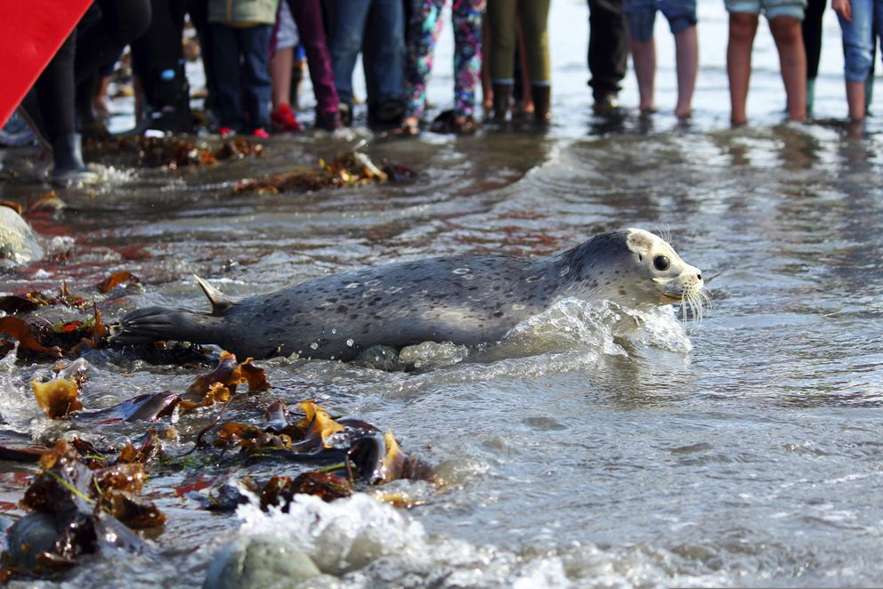In this Thursday, Sept. 5, 2019 photo, Alaska Sealife Center volunteers release a harbor seal back into the wild in Kachemak Bay at Bishop's Beach in Homer, Alaska. The center released two seals which were found neglected on Homer area beaches this May and were rehabilitated through the Wildlife Response Program. (Megan Pacer/Homer News via AP)