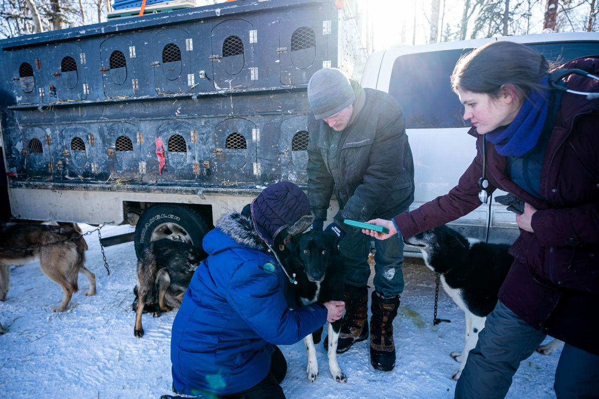 Whitehorse musher Magnus Kaltenborn holds a dog while Anchorage veterinarians Karen Myhre, left, and Heather Rodriguez examine it Wednesday, March 4, 2020 during the Iditarod vet checks in Knik. The mandatory checks allow veterinarians to examine each dog before it is allowed to run the 1,000-mile race. (Loren Holmes / ADN)