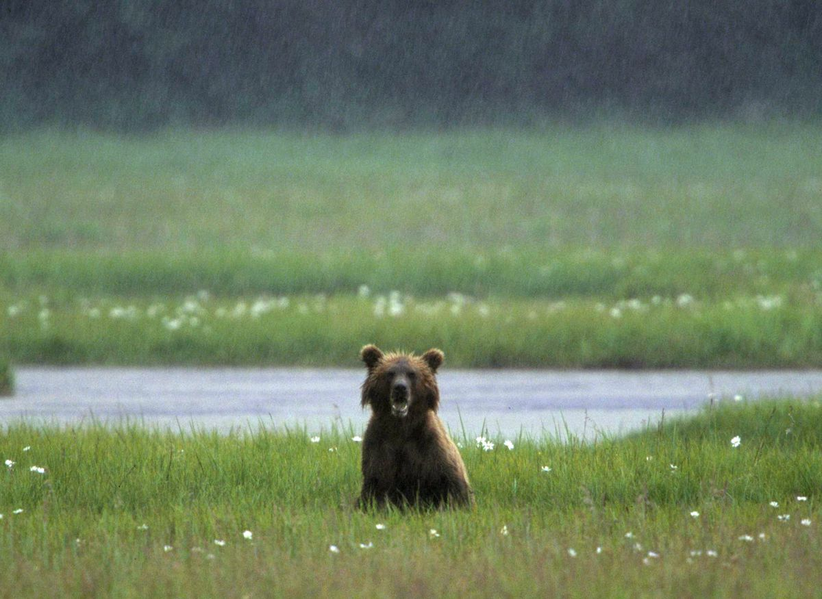 A brown bear sits in a grassy meadow in a downpour. The meadow, off the north shore of Chinitna Bay near Lake Clark National Park, attracted bears and cubs in July 2000. (Marc Lester / Alaska Dispatch News)