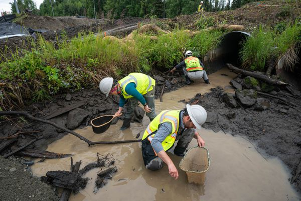 Alaska Department of Fish & Game habitat biologists Megan Marie, Scott Graziano, and Michael Mazzacavallo look for stranded fish in Chester Creek on Thursday, July 9, 2020 at Northern Lights Boulevard. Construction workers temporarily diverted the creek in order to replace failing metal culverts, which left a small number of fish stranded. The biologists captured the stranded fish and released them into the newly diverted stream. (Loren Holmes / ADN)