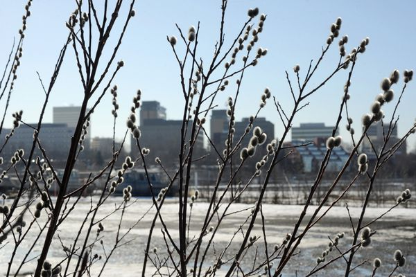 Pussy willow catkins are beginning to bloom in the mild weather near the small boat launch on Monday, April 1, 2019. The Anchorage skyline is in the background. (Bill Roth / ADN)