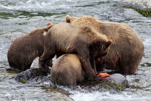 A brown bear sow and cubs climb over each other to share a sockeye salmon meal in Brooks River on July 18, 2017, in Katmai National Park. (Tegan Hanlon / Alaska Dispatch News)