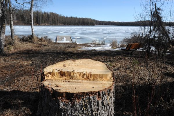 A stump is all that remains where a spruce bark beetle killed tree once stood in the South Rolly Lake Campground on Wednesday, May 1, 2019. (Bill Roth / ADN)