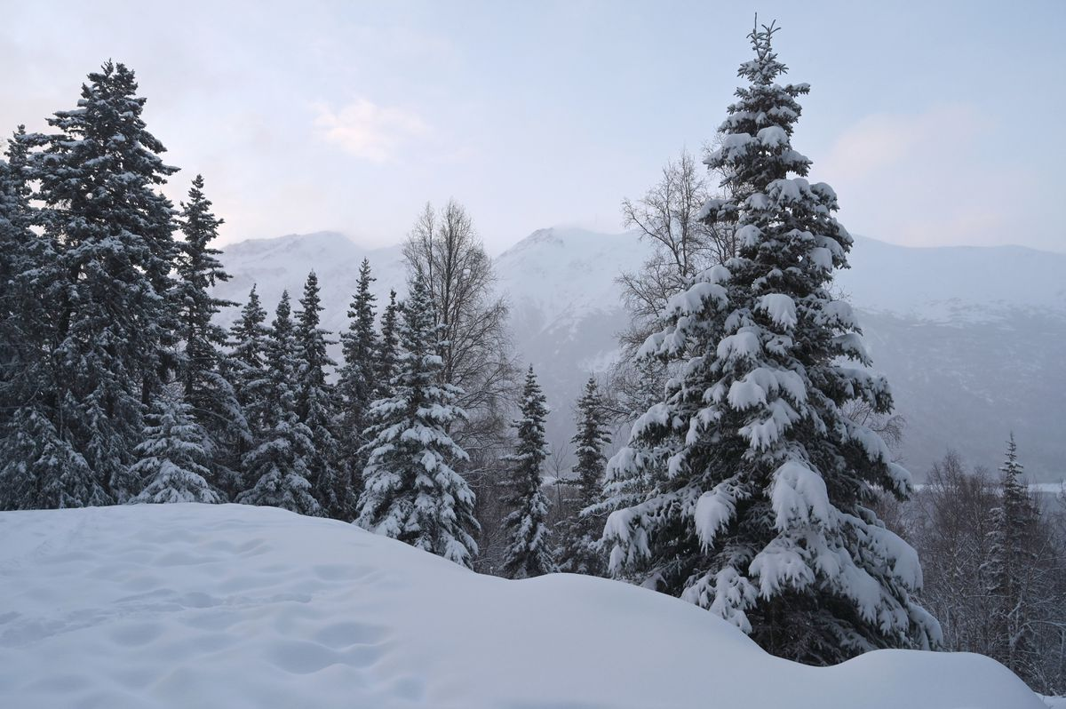 Snowfall overnight transformed Southcentral Alaska from an icy, slushy mess to a snow-laden landscape, Jan 1, 2020. Spruce trees are loaded with snow in Eagle River valley, Wednesday morning. (Anne Raup / ADN)